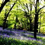 Bluebells, tips for woodland shade, east sussex natures garden, woodlands walk
