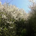 Hawthorne Hedge arch, garden blog, east sussex natures garden, woodlands walk
