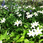wood anemone, tips for woodland shade, east sussex natures garden, woodlands walk