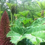 Gunnera planting at Sheffield Park and Gardens, west sussex