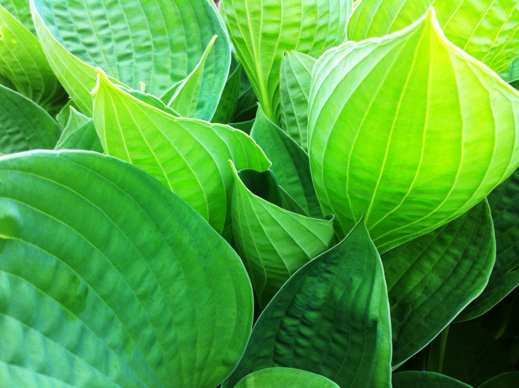 Hosta planting at Sheffield Park and Gardens, west sussex