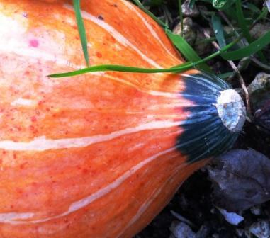 Gourd, gardening in Lewes, allotment plot