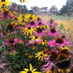 sussex prairies plant combinations 4