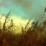 Arlington Resevoir - Grasses