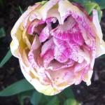 Normandie Tulip in flower