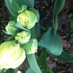 Normandie Tulip in bud