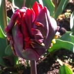 Rococo bud opening