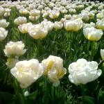 Tulips wisley