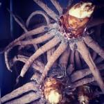 Foxtail lily bulbs