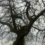 Isaac Newton's apple tree
