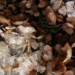 delicate dry hygrangea