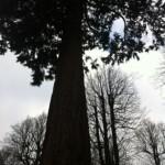 Nymans winter trees