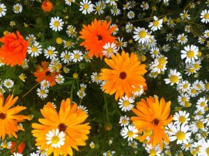 Calendula and daisies