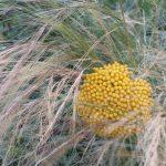 achillea-and-grass