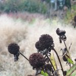rudbekia-seed-heads